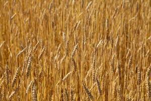 Wheat field, sunny day photo