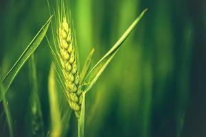 espiga de trigo verde em campo agrícola cultivado