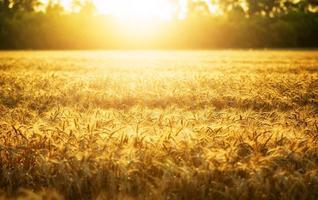 Wheat and sun photo