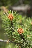 Young pine cones photo