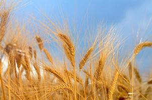 Grain field close up
