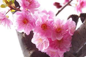 la flor del ciruelo floreciendo