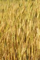 Blur Barley field grain growth