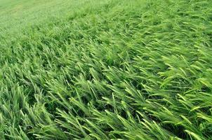 Green wheat texture as agricultural background
