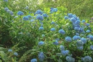 planta de hortênsia (hortênsia) azul em Devon, Inglaterra, Reino Unido