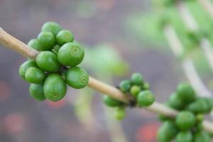 cafeto con grano de café, fondo de planta verde foto