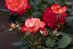 Rose in garden photo