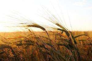 campo de grano foto