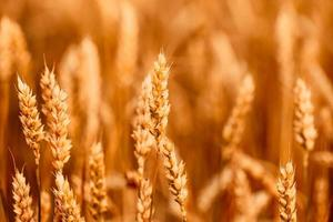 espigas de trigo amarelas