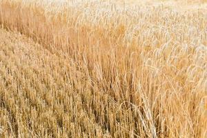 espigas de cebada madura. temporada de cosecha foto