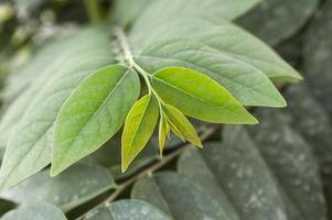 grosella espinosa estrella de hoja verde