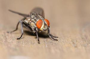 Common House Fly photo
