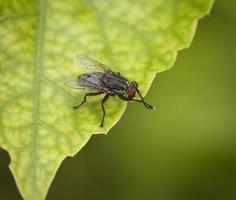 mosca doméstica frotando antenas