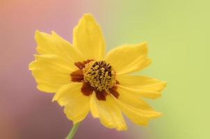 única flor da margarida closeup.