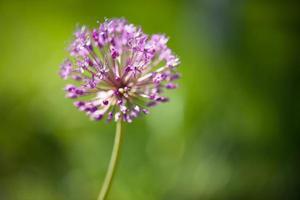 cebolla floreciente foto