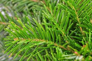 Fir tree, close up