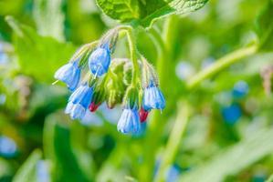 flores silvestres azules