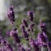 Lavendel photo