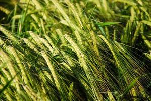 Background of a fresh and green sunlit barley field