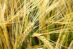 Ripe wheat ears background photo