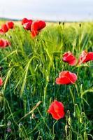 Sunlit poppies photo