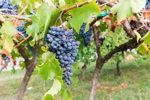 época da colheita da uva