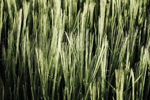 Detalle del campo de cebada