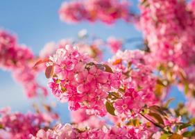 Paradise apple-tree blooming,