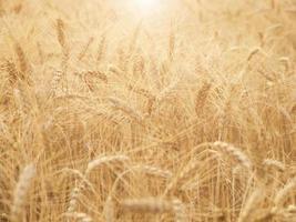 Ears of wheat ripening in the sun.
