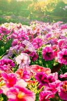 Pink color flowers in vintage style light. photo