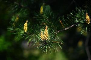 Blooming pine bud. photo