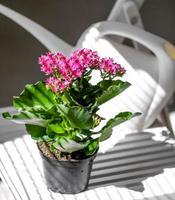 rode bloem in een pot tegen witte gieter