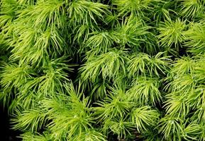 green needles of conifer at spring