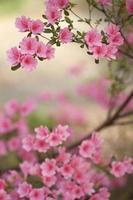 roze azalea struik