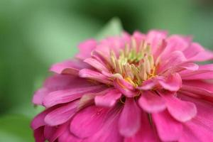 flor de zinnia foto