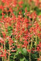 lavandula angustifolia foto