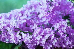 Fondo de macro de flores lilas