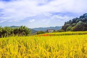 campo floreciente amarilis