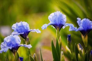 Iris azul flores que crecen en el jardín
