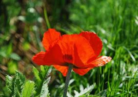 Giant Red Poppy photo