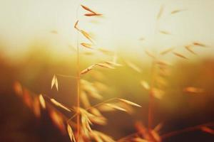 Oat field in sunset. Close up view.