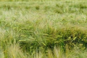 Green and yellow wheat