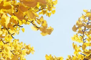 hojas de ginkgo amarillo en otoño foto