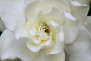 Soft Gardenia