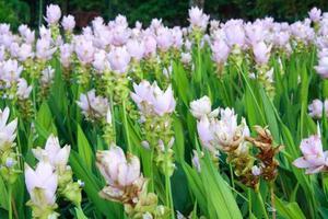 tulipán de siam