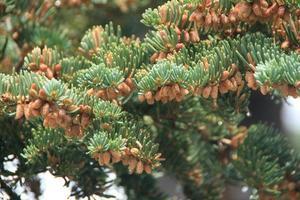 Tiny Pine Cones photo
