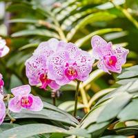 Beautiful orchids, phalaenopsis, in green house photo