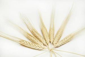 Wheat ears photo