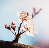 flor de cereja desabrochando