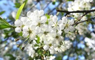 Flowers of cherry tree photo